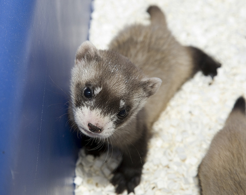 Black-footed Ferret Facts, Habitat, Diet, Life Cycle ...