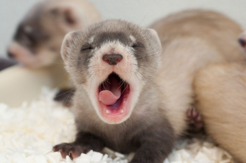 yawning baby animals - photo #28