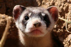 Black Footed Ferret Facts Habitat Diet Life Cycle