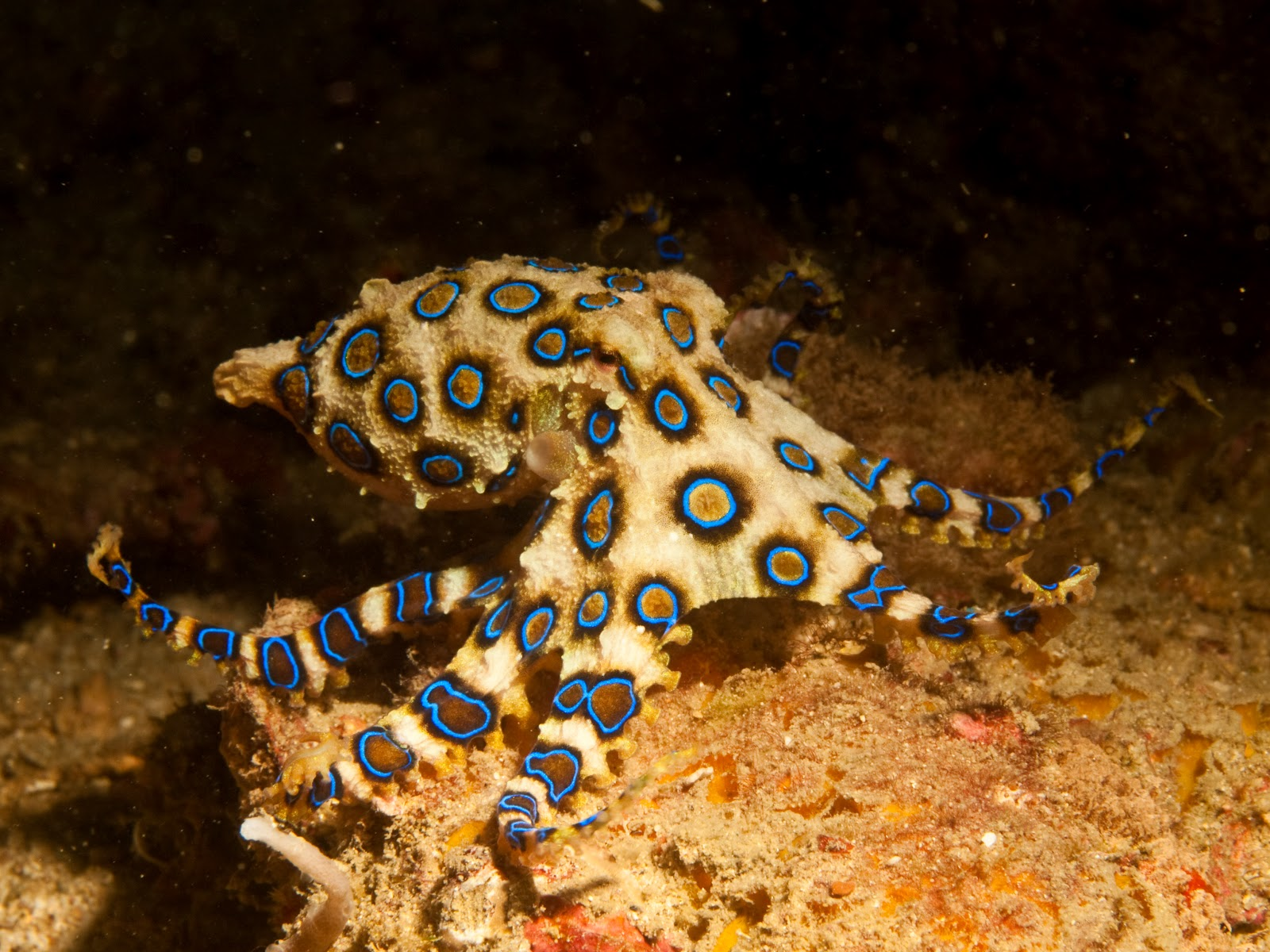 Blue Ringed Octopus Poisonous