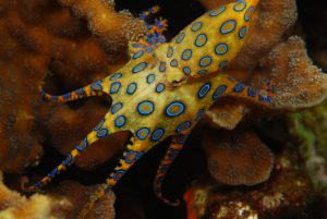 Blue-Ringed Octopus Images