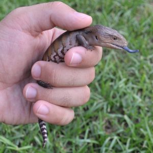 Blue-Tongued Skink Baby