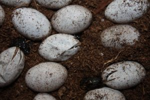 Blue Tongued Skink Eggs