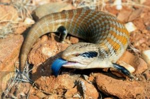 Blue-Tongued Skink Pictures
