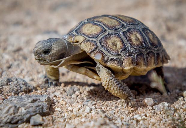 can california desert tortoise diet