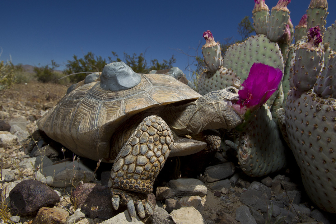 Desert Tortoise Facts, Habitat, Diet, Life Cycle, Baby ...