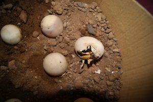 Desert Tortoise Eggs