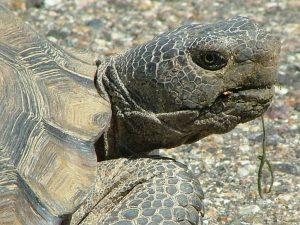 Desert Tortoise Head