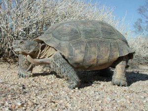 Desert Tortoise Images