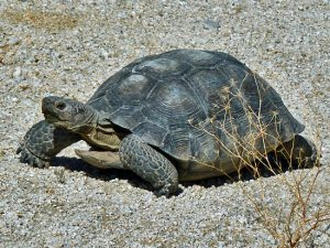 Desert Tortoise Photos
