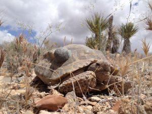 Desert Tortoise Size