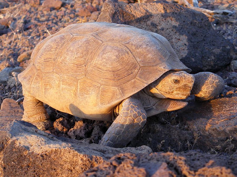 [Image: Desert-Tortoises.jpg]