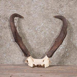 Pronghorn Horn
