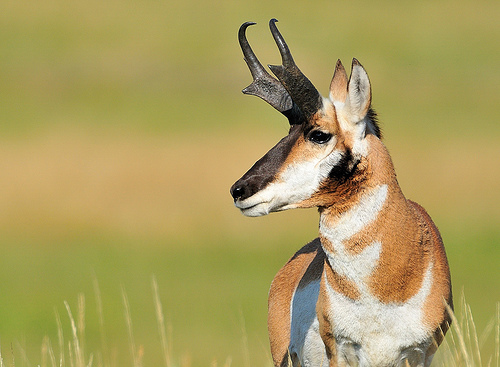 Pronghorn on Animal Facts Pronghorn
