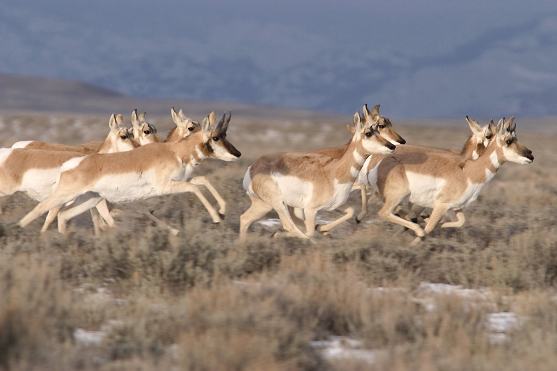 Pronghorn Facts, Habitat, Diet, Life Cycle, Baby, Pictures