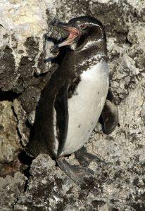 Baby Galapagos Penguin