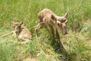 Baby Saiga Antelope