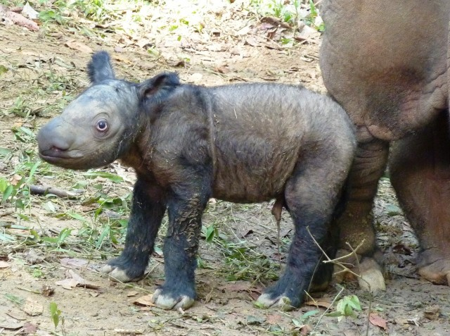 Sumatran Rhino Facts, Habitat, Diet, Life Cycle, Baby, Pictures