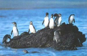 Galapagos Penguin Habitat