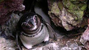 Galapagos Penguin Nest