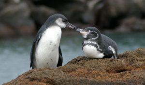 Galapagos Penguin Photos