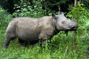 Pictures of Sumatran Rhinoceros