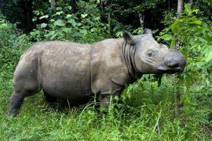 Pictures of Sumatran Rhinoceros