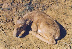 Saiga Antelope Baby