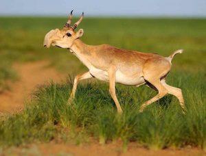 Saiga Antelope Images