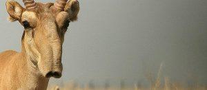 Saiga Antelope Nose