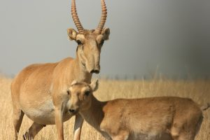 Saiga Antelope Pictures