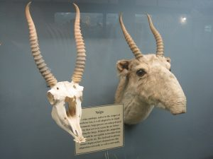 Saiga Antelope Skull
