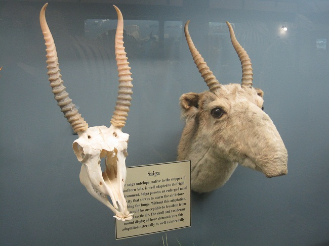 Saiga Antelope Facts Habitat Extinction Life Cycle
