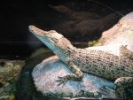 Saltwater crocodile habitat facts