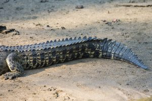 Saltwater Crocodile Tail