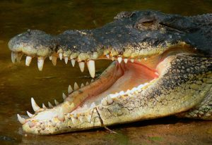 Saltwater Crocodile Teeth