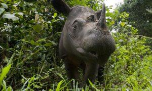 Sumatran Rhino Horn