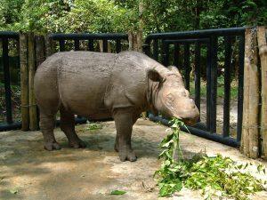 Sumatran Rhino Images