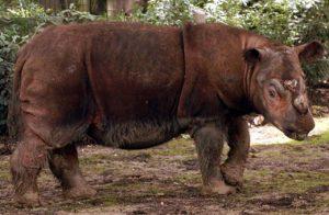 Sumatran Rhino Pictures