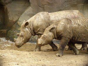 Sumatran Rhinoceros Images