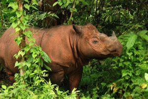 Sumatran Rhinoceros Pictures