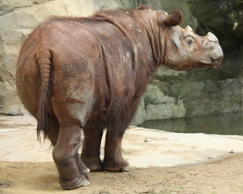 Sumatran Rhino Facts, Habitat, Diet, Life Cycle, Baby ...