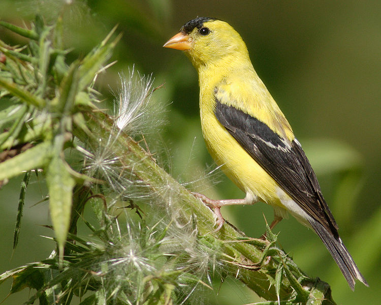 american goldfinch nest - photo #25