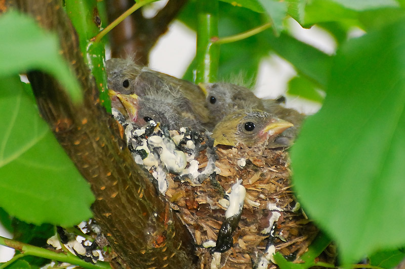 American Goldfinch Baby