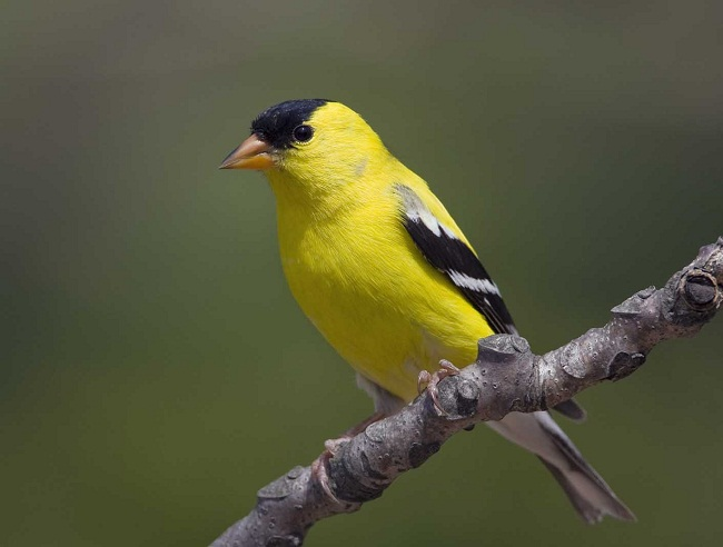 distribution habitat and behavior of the american goldfinch Habitat american goldfinches are widely distributed on the edges of many  forests  behavior american goldfinches are diurnal and social and generally  found.