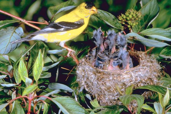 american goldfinch nest - photo #5