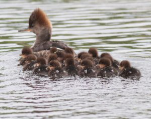 Hooded Merganser Babies