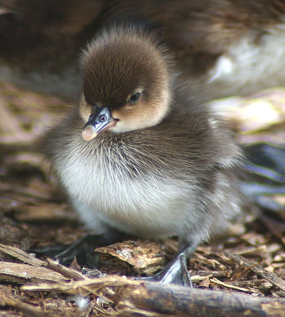 hooded merganser facts habitat diet life cycle baby pictures