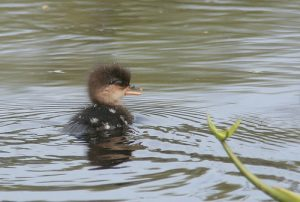 Hooded Merganser Duckling