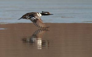 Hooded Merganser Flying